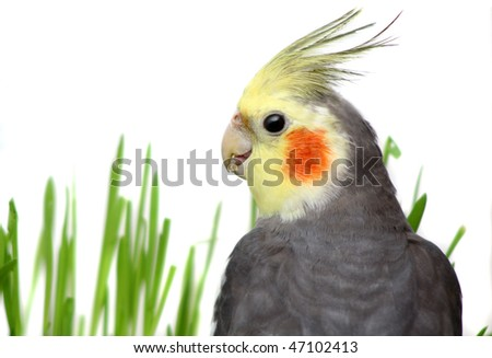 Grey Curious Cockatiel Isolated with green grass of a white background