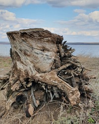 grey curvy low stub of a tree with many short roots on dry ground with river in the background in distance with cloudy blue sky and horizon line