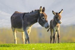 Grey cute baby donkey and mother on floral meadow