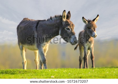 Photo of  Grey cute baby donkey and mother on floral meadow