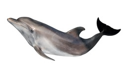 grey dolphin isolated on white background
