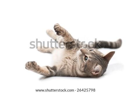 Grey domestic cat in playful feeling