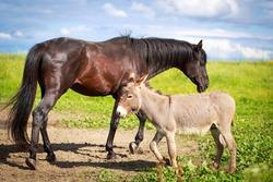 Grey donkey and black horse