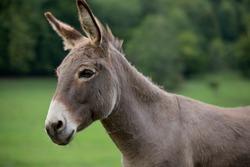 grey donkey on green background, big ears, nature photography, animal photo, green background