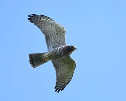 Grey-faced Buzzard, a migratory raptor bird, flying and gliding on clear blue sky background.