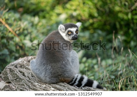 Grey fatty lemur looking on camera in natural forest environment. Cutie animal eye focus photo.