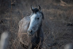 Grey feral horse in Guerrero, Mexico at sunset