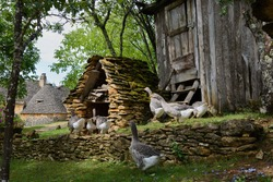 Grey foie gras geese walking to their goose house on a traditional goose farm near Sarlat, Perigord, Dordogne region, France.