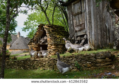 Grey foie gras geese walking to their goose house on a traditional goose farm near Sarlat, Perigord, Dordogne region, France.