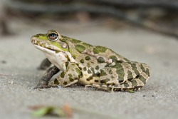 Grey frog with green spots, on the sand