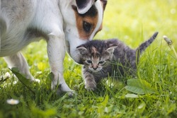 grey furry kitten walks through the grass and a female dog jack russel watches his steps. Harmony between dog and cat. First steps of felis catus domesticus. Cuteness, innocence.