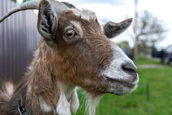 Grey goat portrait. Spring day, countryside, goat close-up shot.