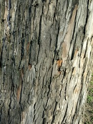 Grey, gray, and light brown cortex. Mulberry tree bark, cortex. Plant disease. Old tree, wood, hard wood, natural photo. Nature, garden, fruit tree, yard, horticulture, agriculture, park, outside.