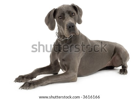 Grey Great Dane lying down in front of white background #3616166