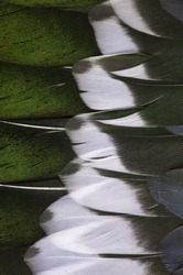Grey, green, and white feathers on the wing of a wild duck as a background. Close-up colorful feathers, bird feathers background and texture.