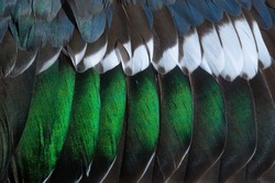 Grey, green, blue, and white feathers on the wing of a wild duck as a background. Close-up colorful feathers, bird feathers background texture. Selective focus.