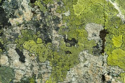 Grey-green natural stone background with rough textured surface and Lichen Moss. structure of Lichen rhizocarpon on grunge old stones mineral backdrop. south Ural Mountains. flat lay. close up