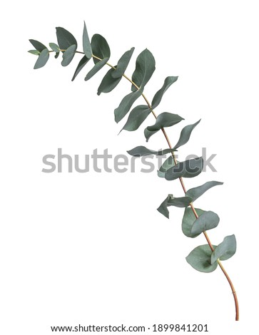 Grey green or glaucous leaves on a branch of the Eucalyptus tree, seen from the side. Isolated on a white background.