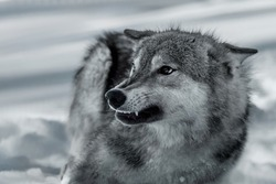 Grey grinning wolf in the winter forest