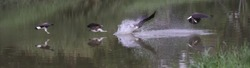 Grey Headed Fish Eagle hunting sequence
