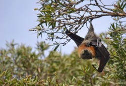 Grey headed flying fox hanging from a tree