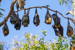 Grey-headed Flying Foxes roosting in bat camp