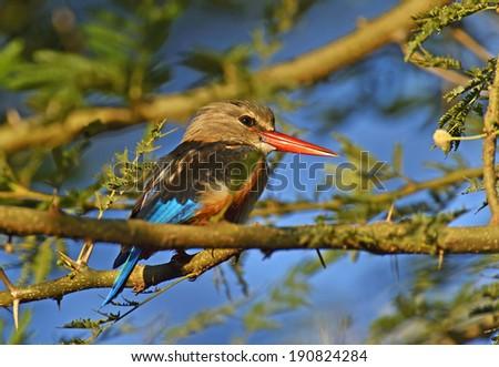 Grey-headed Kingfisher, Halcyon leucocephala, Samburu Game Reserve, Kenya