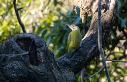 Grey-Headed Woodpecker (Picus canus) bird perching on tree
