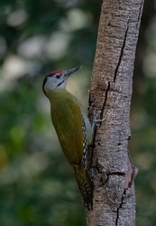 Grey-headed woodpecker (Picus canus) bird photographed in Sattal, India