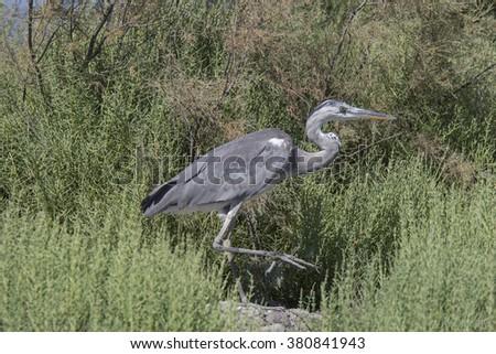 grey heron Zdjęcia stock ©