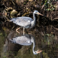 Grey heron, Ardea cinerea, a massive gray bird wading through a flat lake searching for fish, with fluffy feathers, large beak, long feathers on back side of head, scene from wild nature