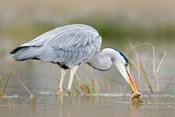Grey Heron, Ardea cinerea, blurred grass in background. Water bird in the forest lake in the nature habitat. Animal from Poland.