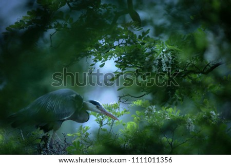 Grey Heron, Ardea cinerea, blurred grass in background. Water bird in the forest lake in the nature habitat. Animal from Czech Republic. Heron patiently waiting for fish