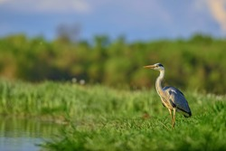 Grey Heron - Ardea cinerea, large common gray heron from lakes and rivers, Hortobagy, Hungary.
