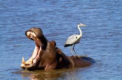 Grey Heron (Ardea cinerea), on the Hippopotamus back (Hippopotamus amphibius), Kruger National Park, South Africa.