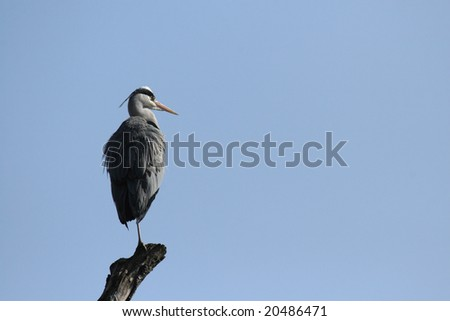 Grey Heron (Ardea cinerea) sitting on a branch before blue sky
