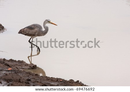 Grey Heron - Ardea cinerea Stalking in water