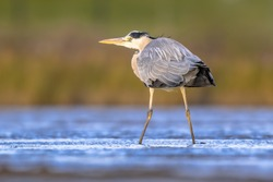 Grey heron (Ardea cinerea) wading in shallow water and looking for food. Wildlife scene in Nature. Tidal marsh Waddensea. Netherlands