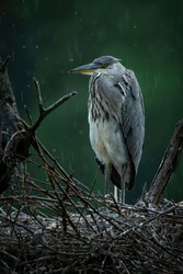 Grey heron (Ardea cinerea), with beautiful green coloured background. Colorful water bird with grey feather sitting on the nest near the river. Wildlife scene from nature, Czech Republic