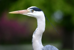 Grey heron (ardea cineria) head close up