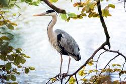 Grey heron bird on the tree