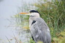 Grey Heron. British bird with grey feathers and yellow beaks