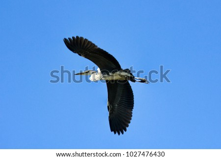 Grey Heron, Common Heron (Ardea cinerea) in flight, grey feathers. Fish-eating birds, piscivorous
