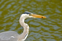 Grey heron eating a fish