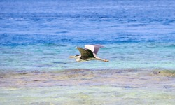 Grey Heron flying over turquoise Maldivian water. Large black and white bird with open wings gliding over blue Indian ocean waves.