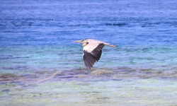Grey Heron flying over turquoise Maldivian water. Large black and white bird with open wings gliding over blue ocean waves.