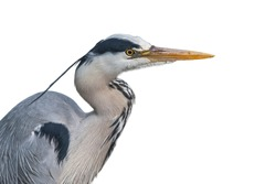Grey heron / gray heron (Ardea cinerea), close-up portrait against white background