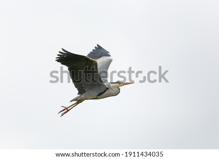 Grey heron in flight with its wings up. ストックフォト ©