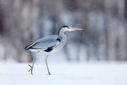 Grey Heron in white snow during cold  windy winter. Wildlife scene from Norwegian nature.  Heron with snow in the nature habitat.