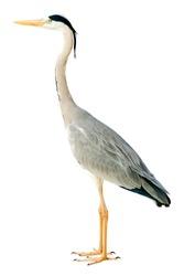 grey heron isolated